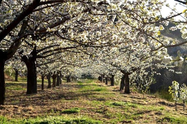 Cerejeiras em flor no Fundão, no centro de Portugal | Crédito: Fundão Turismo