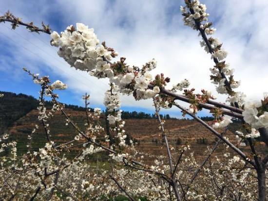 Flores das cerejeiras devem se despedir já no próximo fim de semana | Crédito: Giuliana Miranda
