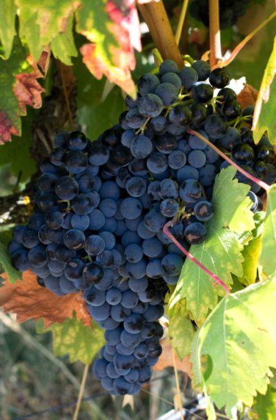 Em agosto, o Alentejo já está carregado de uvas prontas para a colheita | Foto: Giuliana Miranda/Folhapress